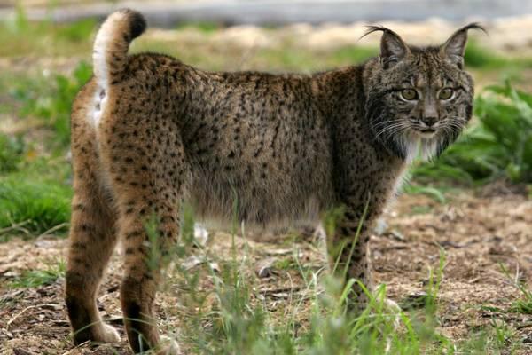 Пиренейская (испанская, сардинийская) рысь фото (лат. Lynx pardinus)