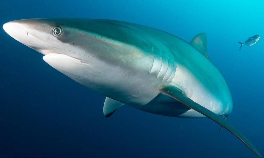 Плавники флоридской широкоротой акулы