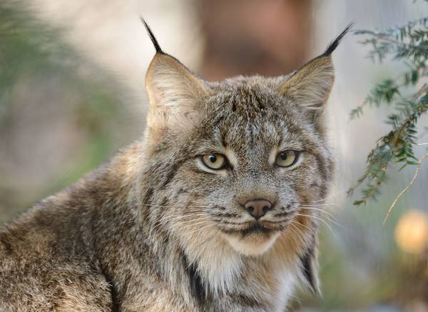 Уши канадской рыси фото (лат. Lynx canadensis)