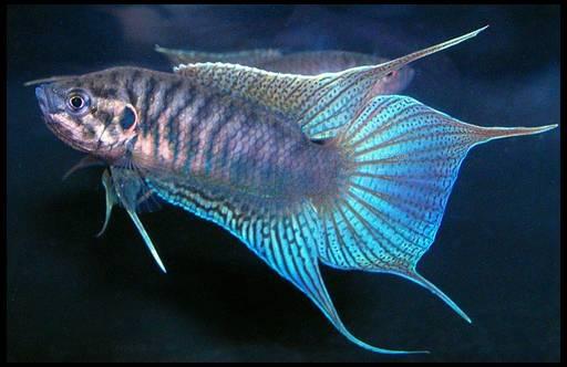 Фото аквариумная рыба макропод