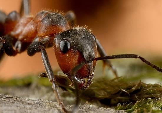 Фото луговой муравей