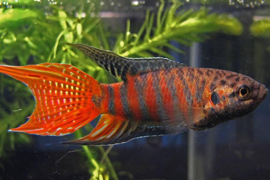 Фото макропод аквариумная рыба