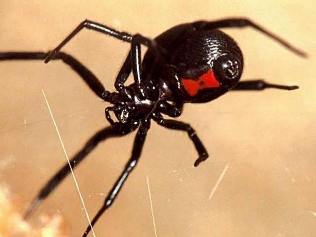 Фото паук черная вдова