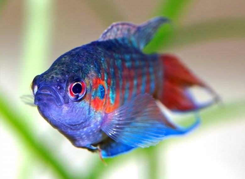 Фото райская рыба макропод