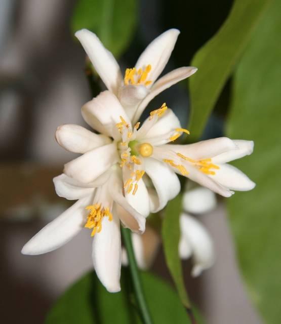 Цветок лимонного дерева фото