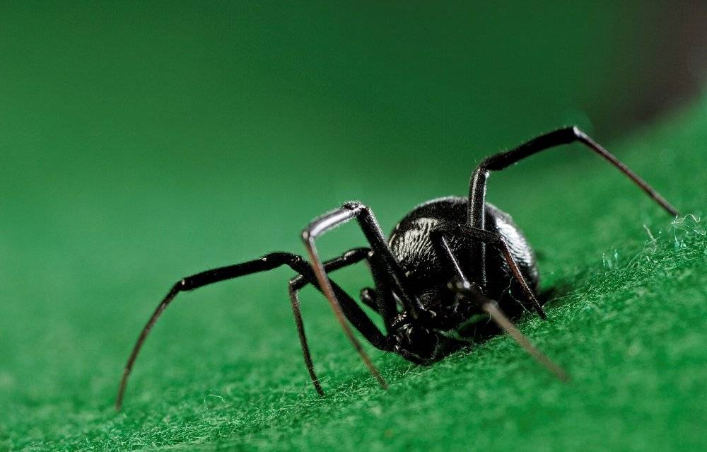 Черная вдова паук фото