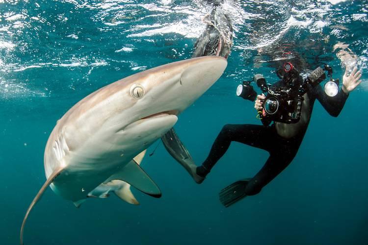 Шелковая акула и дайвер фото