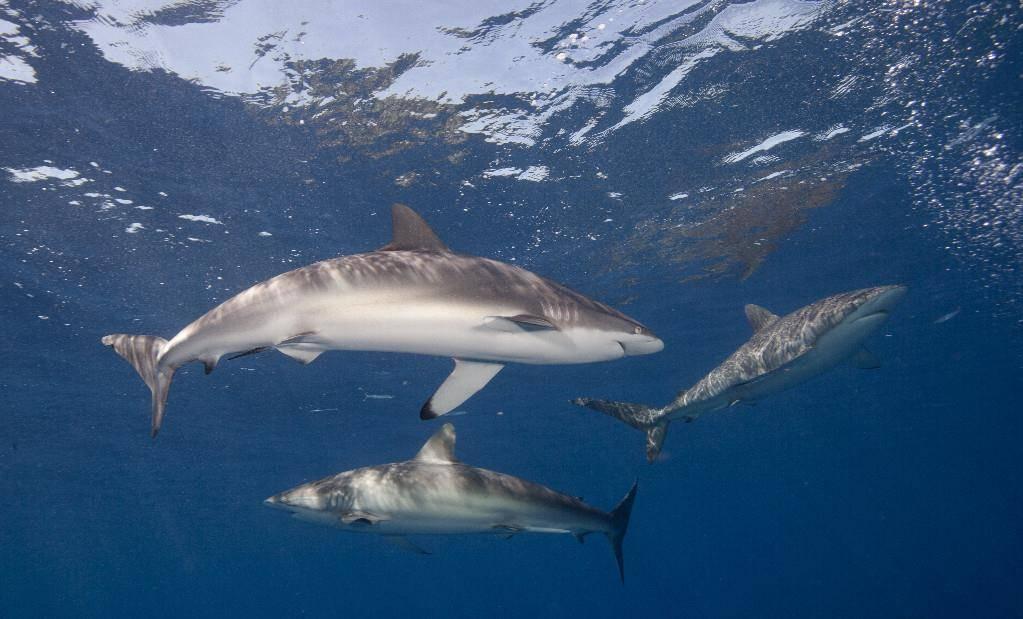 Шелковые (флоридские) акулы (лат. Carcharhinus falciformis)
