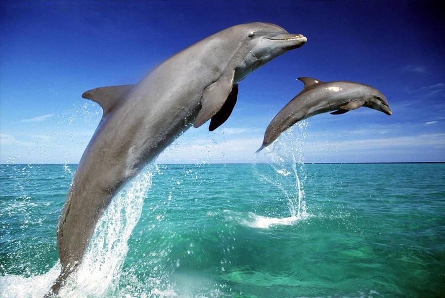 Афалина (большой дельфин или бутылконосый дельфин) (лат. Tursiops truncatus)