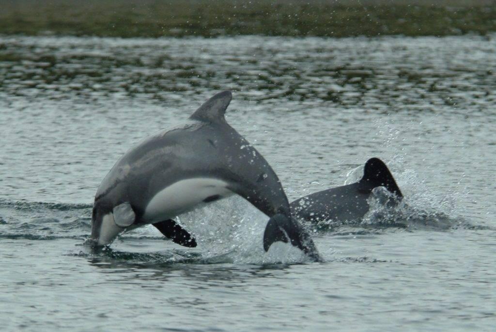 Белобрюхий дельфин (черный дельфин, чилийский дельфин) (лат. Cephalorhynchus eutropia)