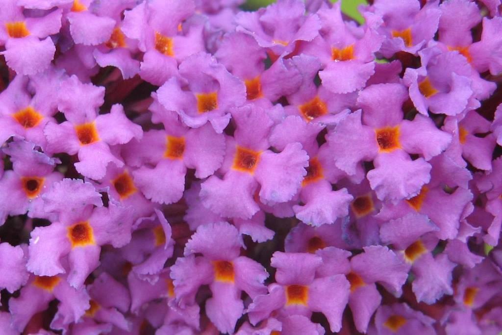 Буддлея фото цветов