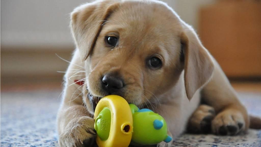 Лабрадор щенок фото