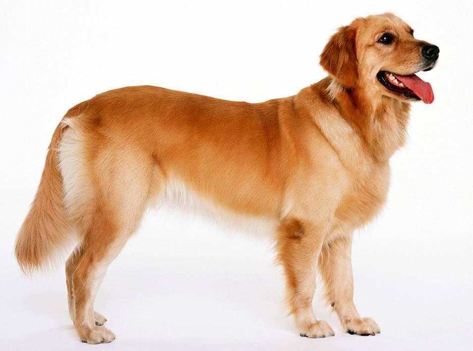 Собака лабрадор фото