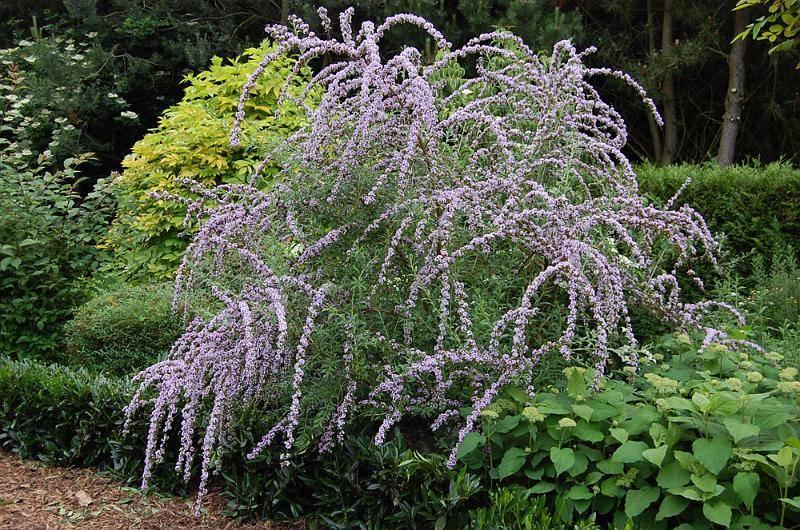 Буддлея очереднолистная (Buddleja alternifolia)