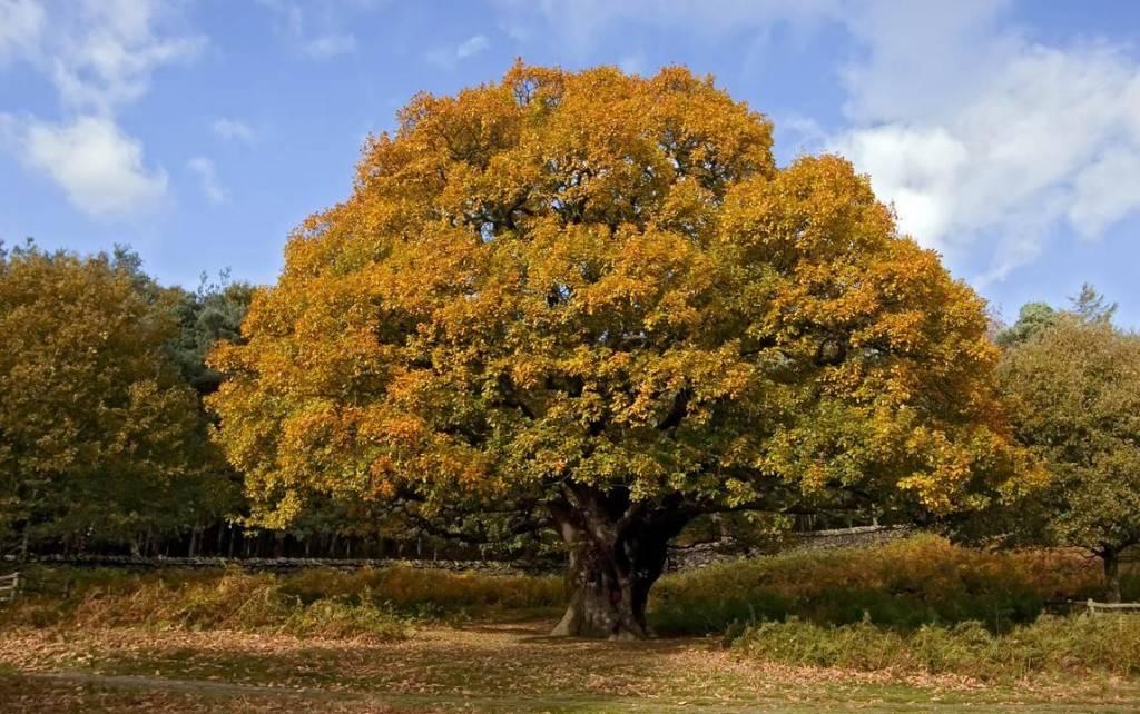 Дуб осенью фото