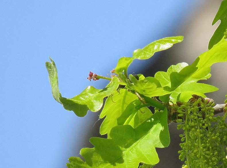 Женские цветки дуба фото