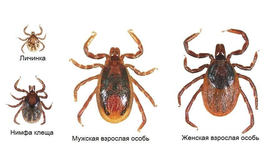 Как выглядит клещ - личинка, нимфа клеща, мужская и женская особи
