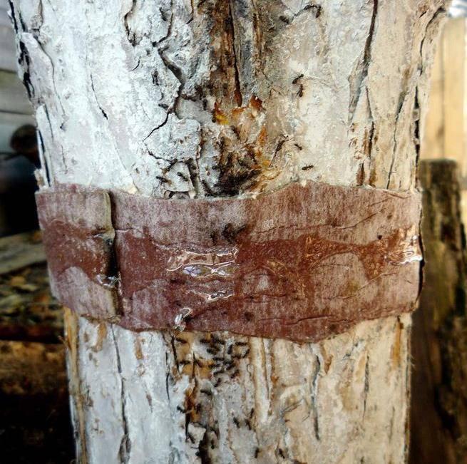 Как уничтожить тлю и муравьев на дереве
