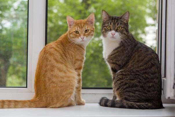 Если вы завели вторую кошку...  Как познакомить и подружить кошек