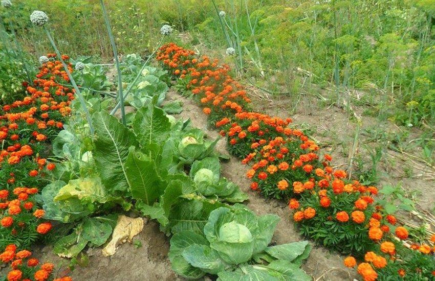 Растения, отпугивающие тлю – бархатцы, чеснок