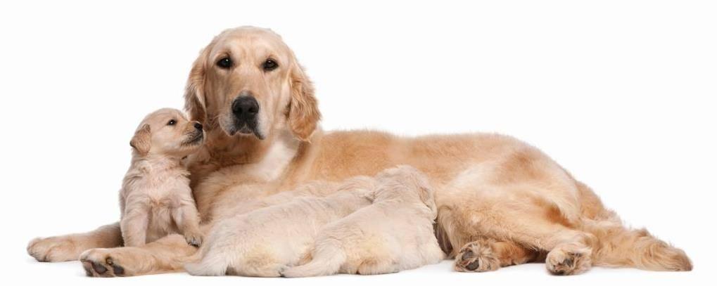 Собака лабрадор с щенком фото
