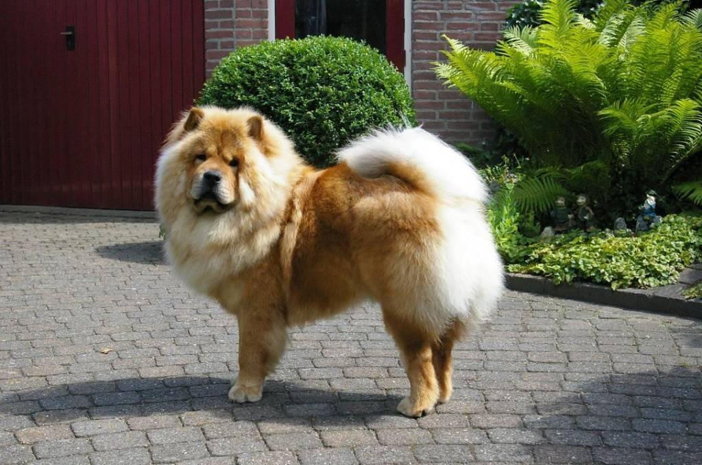 Собака чау-чау фото