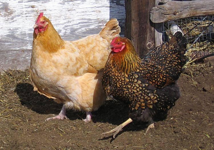 Фото курица