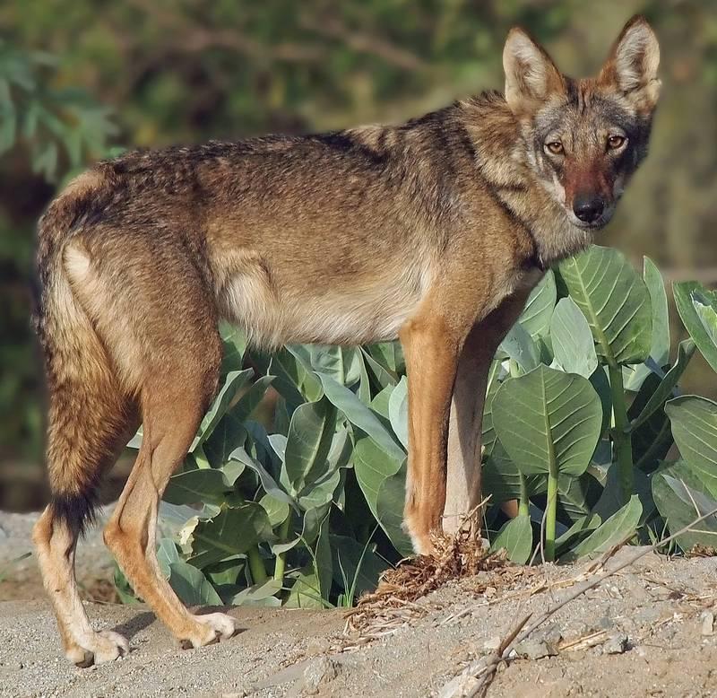 Аравийский волк фото (лат. Canis lupus arabs)