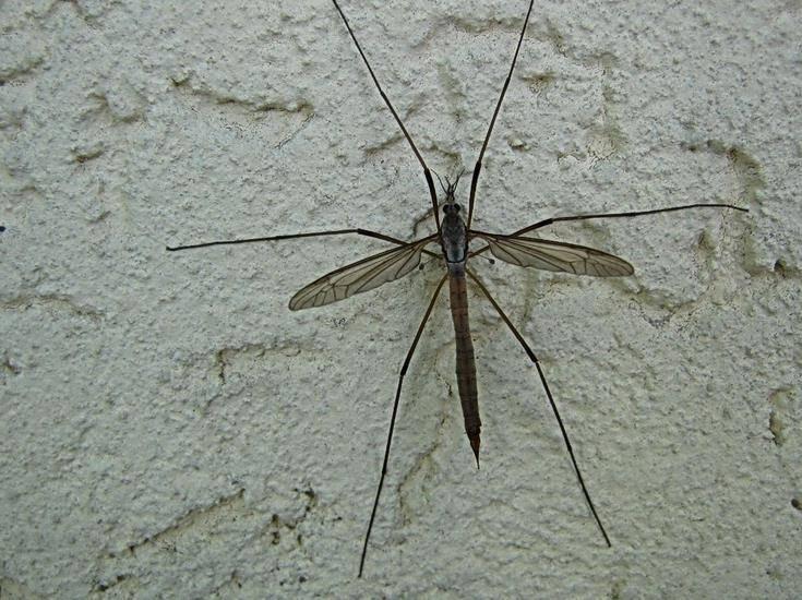 Большой комар фото