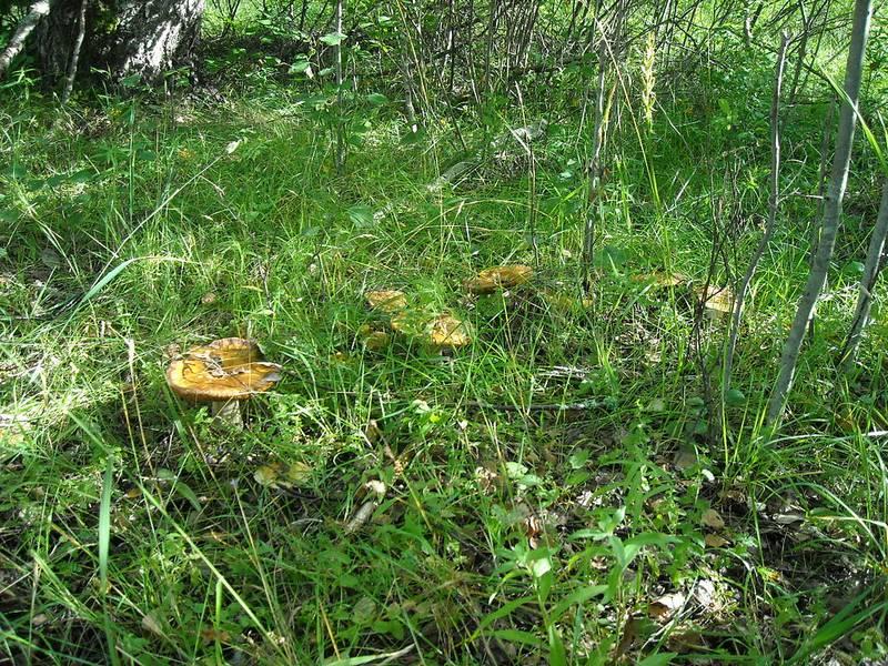 Валуи в лесу фото (лат. Russula foetens)