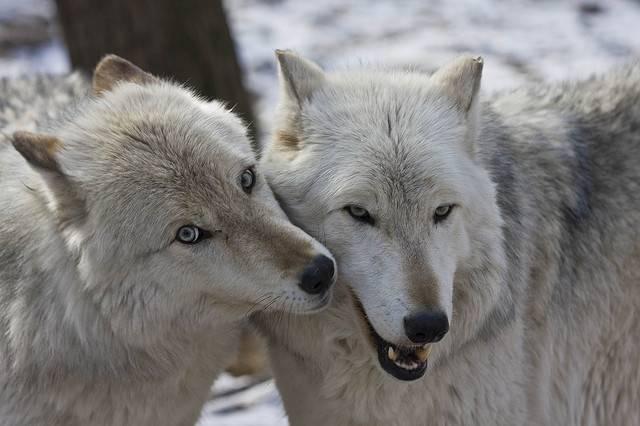 Волк и волчица фото