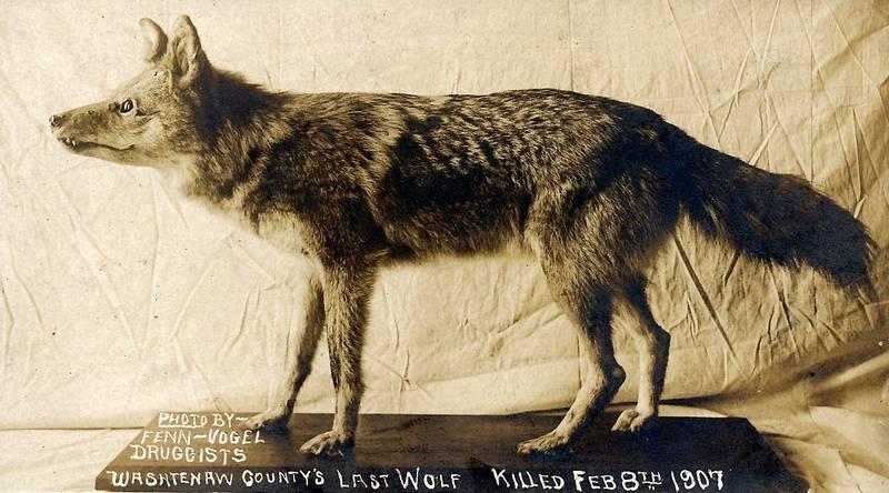 Восточный волк (североамериканский лесной волк) фото (лат. Canis lupus lycaon)