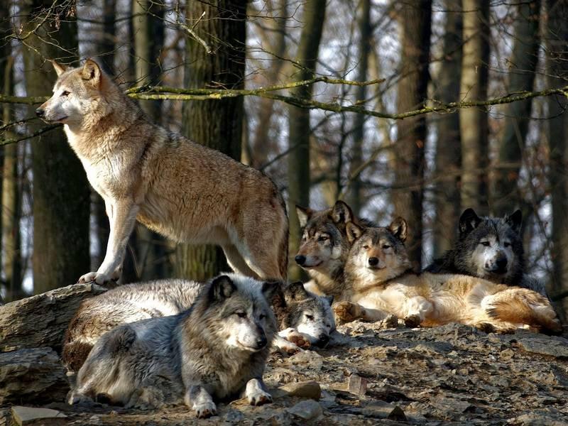 Где обитают волки фото