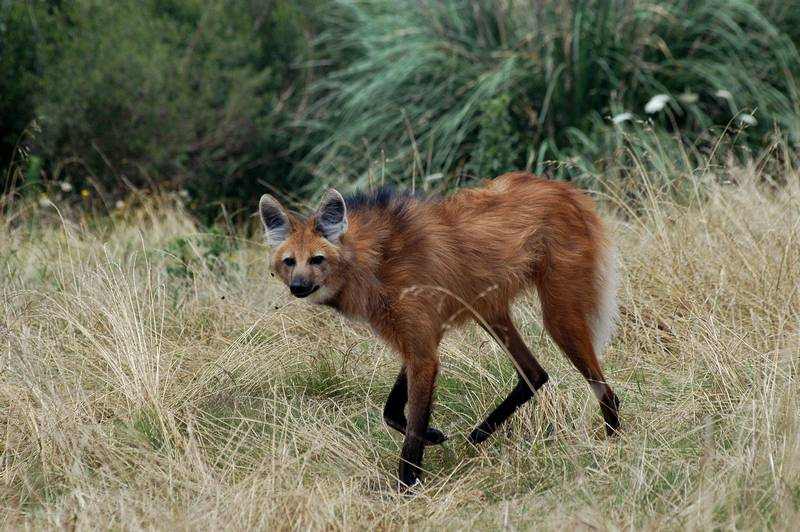 Гривистый волк (гуара, агуарачай) фото (лат. Chrysocyon brachyurus)
