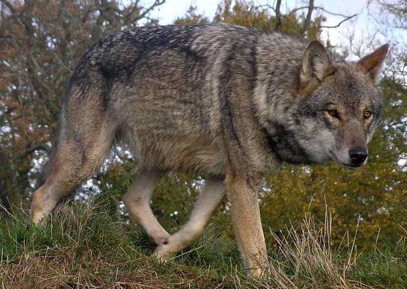 Евразийский волк (европейский, степной, карпатский, тибетский, китайский, обыкновенный волк) фото (лат. Canis lupus lupus)