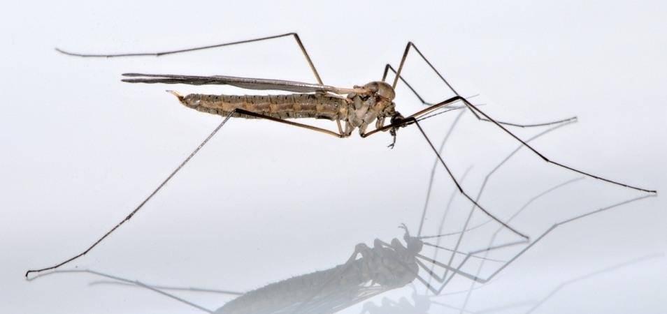 Зимний комар