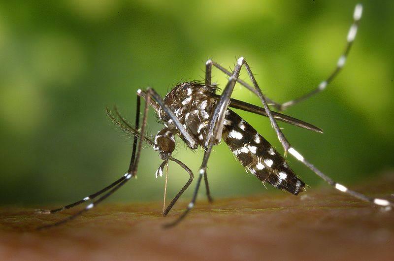 Комар кусака двуполосый