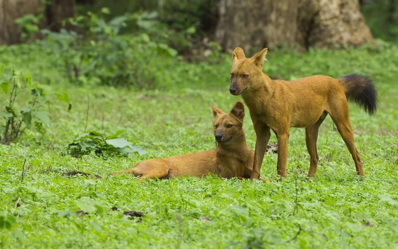 Красный волк (горный волк, гималайский волк, буанзу) фото (лат. Cuon alpinus)