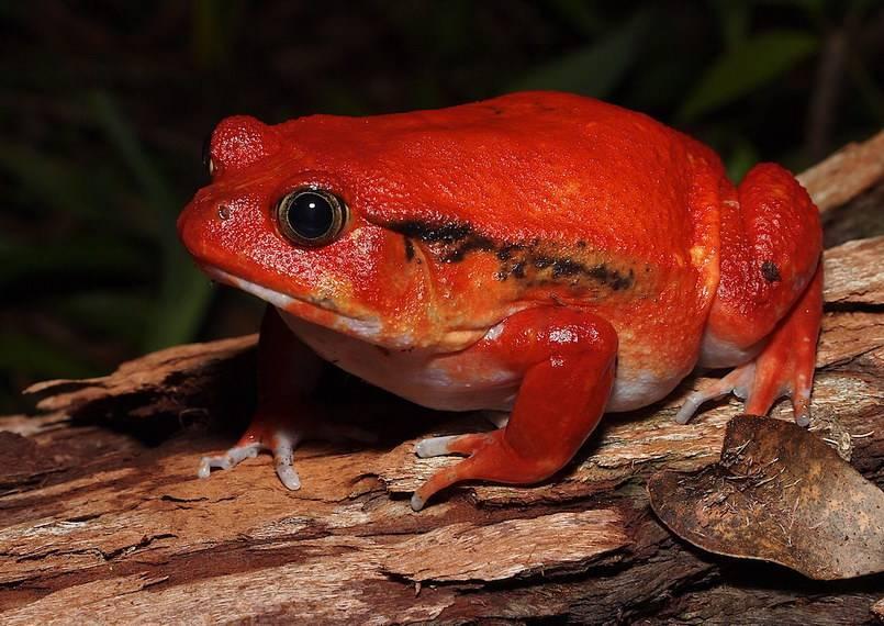 Лягушка-помидор или томатный узкорот
