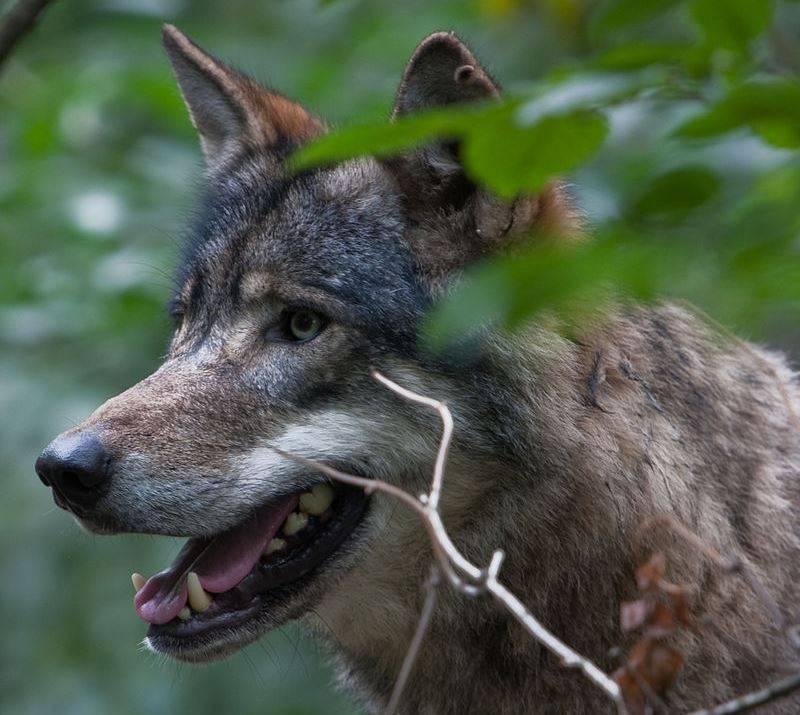 Морда и зубы волка фото