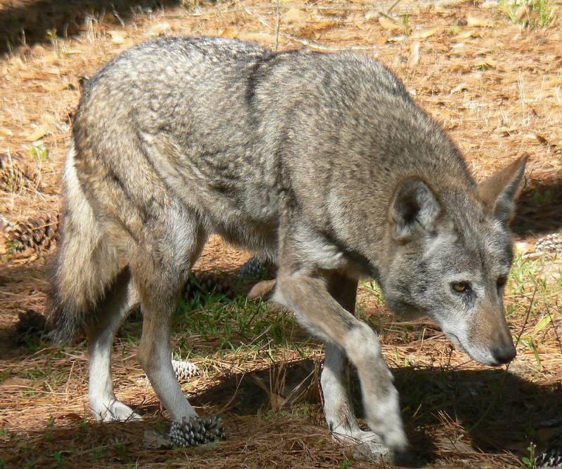 Рыжий волк фото (лат. Canis lupus rufus)