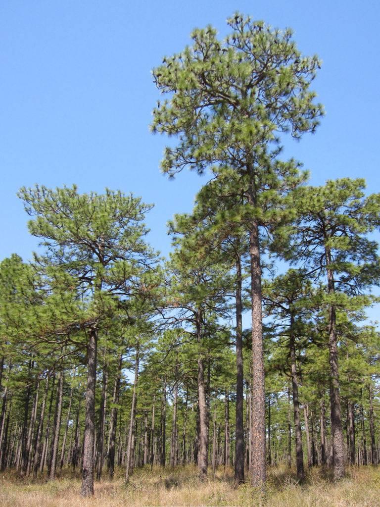 Сосна болотная (длиннохвойная) фото (лат. Pinus palustris)
