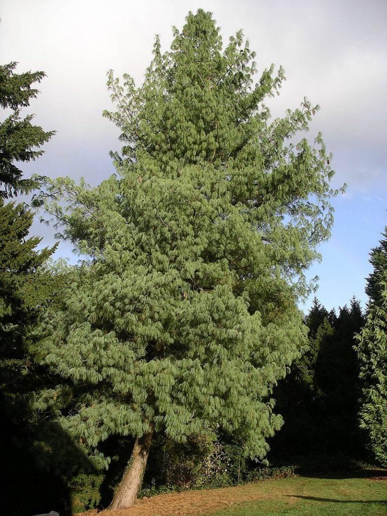 Сосна гималайская (сосна Бутанская, сосна Валлиха) (лат. Pinus wallichiana)