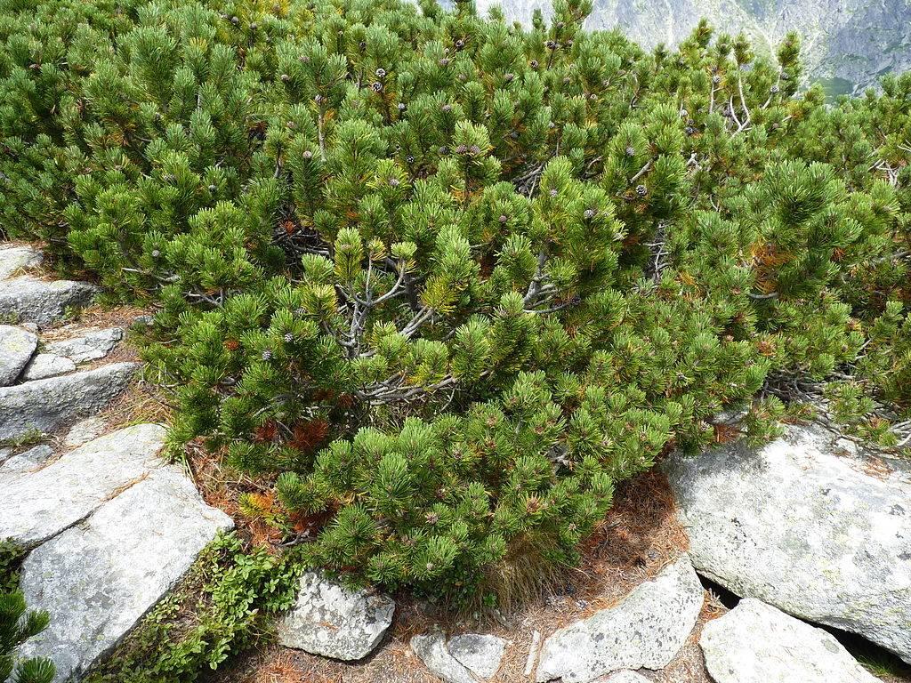 Сосна горная (сосна стланиковая европейская, жереп) (лат. Pinus mugo)