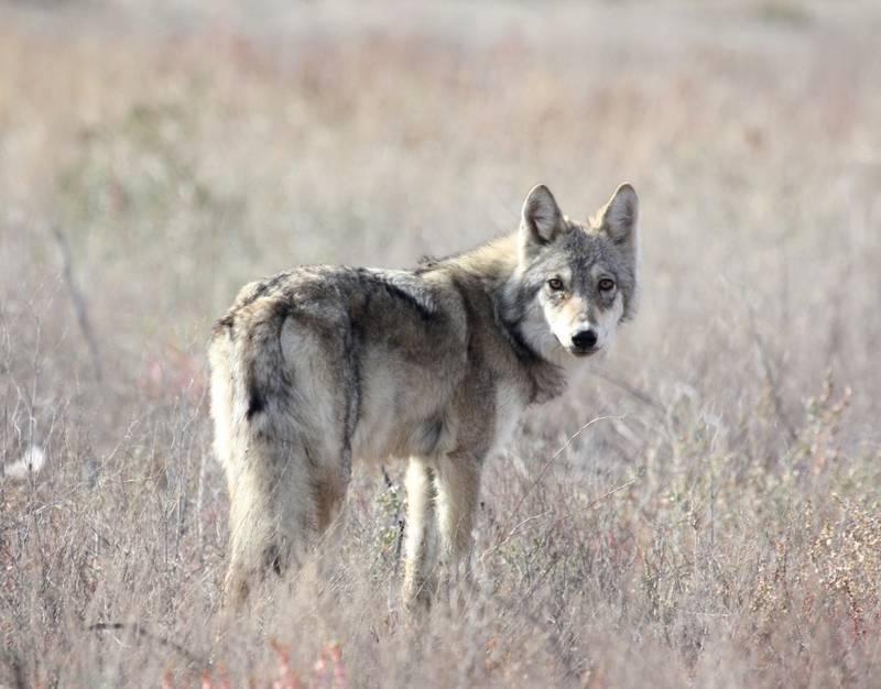 Степной волк (пустынный волк) фото (лат. Canis lupus campestris)