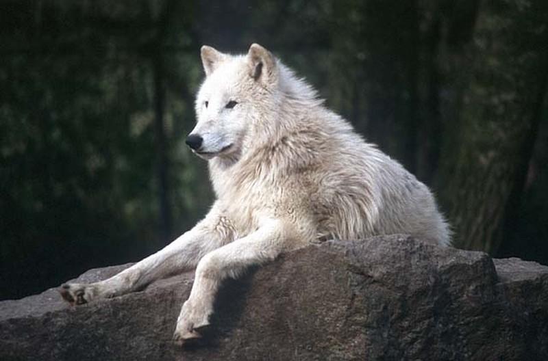 Тундровый волк фото (лат. Canis lupus albus)