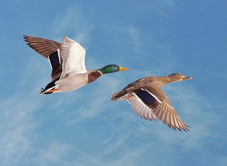 высоком фотографии летящие утки время модель появилась