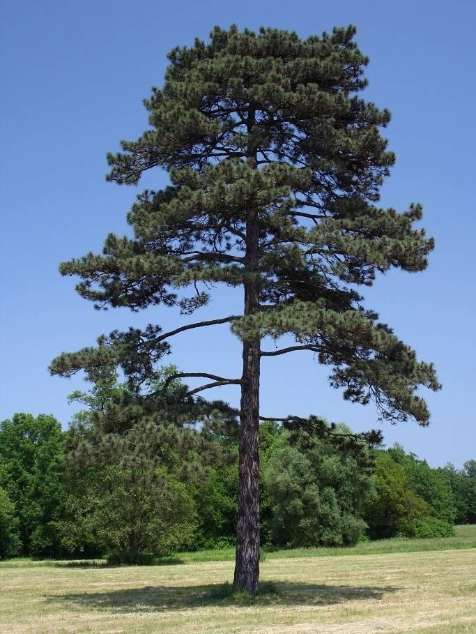 Черная сосна (сосна черная австрийская) (лат. Pinus nigra)