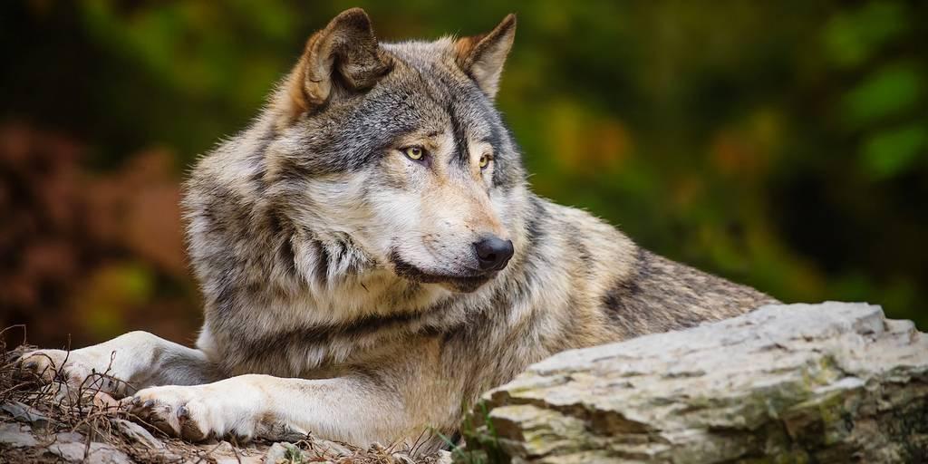 Волк полярный картинки