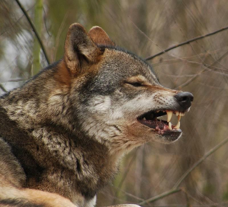 Волчий оскал фото